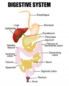 A diagram of the digestive system, including the duodenum.