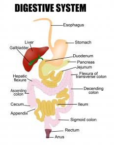 The gallbladder is a small sac attached to the liver.