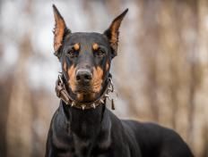 Dobermans are often used as guard dogs.