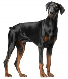 Dobermans often compete in agility trials.
