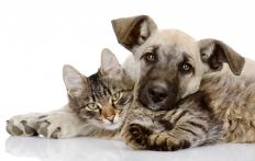 Dog and cat scratches can cause pasteurellosis in humans.