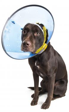 Dogs might have to wear Elizabethan collars to prevent wound licking.