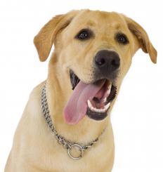 A Labrador Retriever, which is illegal in some areas.