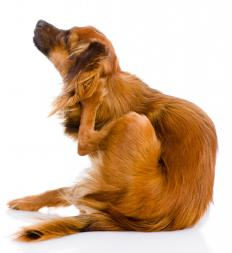 Lice can cause intense itching on a dog.