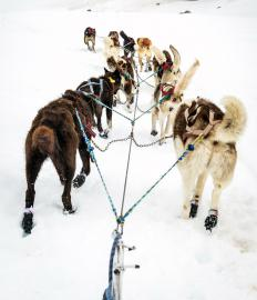 Bungee cord is used in dog sledding to absorb shock for the dogs should the sled suddenly becoming stuck or tipped and stop.