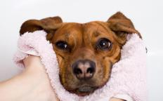 Young dogs are vulnerable to canine hepatitis.