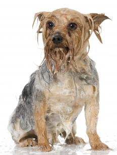 A dog being washed.