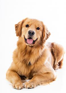 Canine myasthenia gravis commonly affects Golden Retrievers.