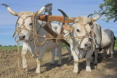Livestock farmers may train draft cattle for plowing purposes.