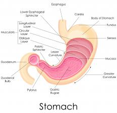 Auerbach's plexus is linked to achalasia, the condition that affects the esophagus and the cardia.