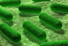 Researchers who study allosteric enzymes often work with bacteria such as Escherichia coli.