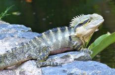 Water dragons grow quickly, and adults can require 50-gallon aquariums.