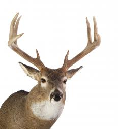 Antler velvet is typically collected from the young antlers of elk and deer.