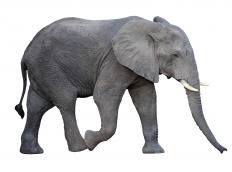 African elephant is the common name of Loxodonta africana.