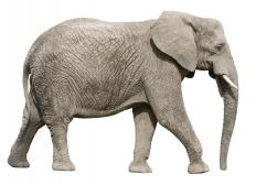 An elephant with a long proboscis.