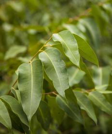 Eucalyptus is frequently used in bush medicine.