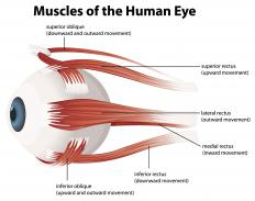 The superior oblique, one of the extraocular muscles, is partly responsible for rotating the eye internally.