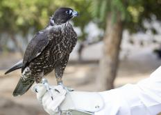 Traditionally, identifying threads were used to keep track of birds used in falconry.