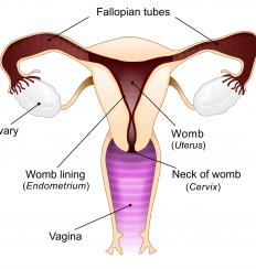 A diagram of the female reproductive system, including the ovaries, which produce estradiol.