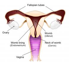 A diagram of the female reproductive system, including the uterus.
