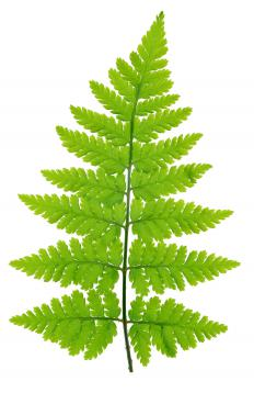 Ferns are commonly found in dish gardens.
