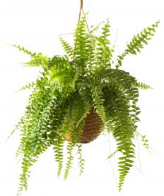 Boston ferns are popular low-maintenance houseplants.