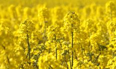 Rapeseed oil is processed from the seeds of Brassica napus plants.