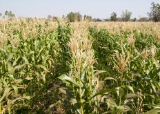 Some crops, such as corn, receive subsidies and effect the market.