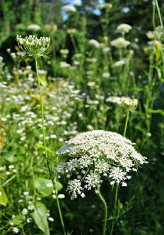 Cow parsley can sometimes be difficult to distinguish from the hemlock plant.