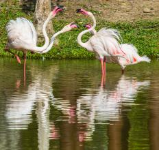 Pink flamingos get their coloring from high levels of astaxanthin in their diet.