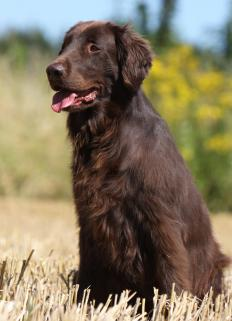 Flat-Coated Retrievers may be susceptible to histiocytic sarcoma.