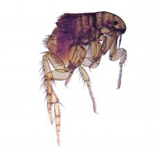 "A flea, the inspiration for the term ""put a flea in your ear.""."