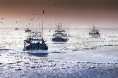 Fisheries in the British Isles rely on the brown crab for the majority of their commercial trade.