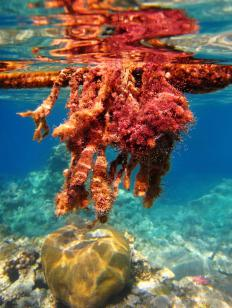 Most marine algae consists of red algae, which has 6,000 species.