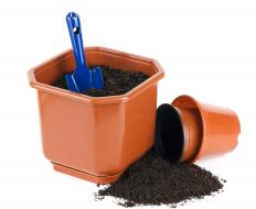 As roots develop, cuttings may be transferred to small pots with potting soil.