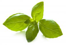 Fresh Basil is used for pesto.