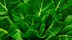 Collard greens are a good source of calcium.