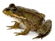 A frog, a type of vertebrate.