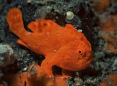 Frogfish are a type of anglerfish.
