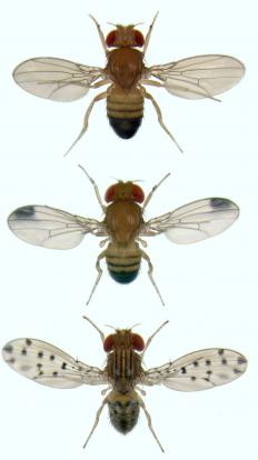Apoptosis is often carried out with fruit flies.