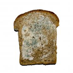 Bread mold is one of the most frequent molds sighted by humans.
