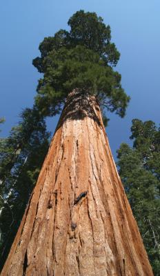 A giant sequoia, one of California's state trees.