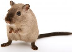 Gerbils, unlike hamsters, have tails and often like to stand up on their hind legs.