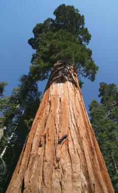 The Japanese cedar resembles the Giant Sequoia.