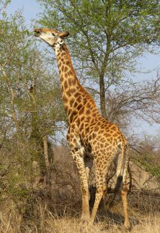 A giraffe's long tongue allows it to reach the highest leaves.