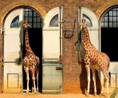 It is commonly believed that giraffes developed long necks in order to win fights.