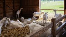 Fainting goats are never raised as meat animals.