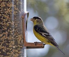 The male goldfinch sports a bright yellow body during the mating season in spring and summer.