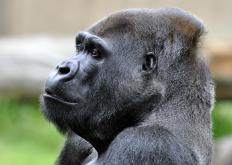 Eastern gorillas are among the largest of all apes.