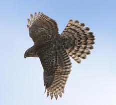 A shikra is also known as a little banded goshawk, a predatory bird native to Africa and Asia.